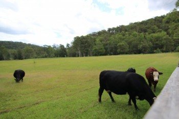Pepper Tree - The friendly Cows